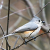 Tufted Titmouse - Apr 2008, NJ