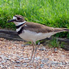 Killdeer - Pepsico Park, NY - May 2009