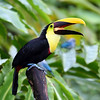 Chestnut-mandibled Toucan (Swainson's Toucan ), trying to swallow a huge chunk of papaya - Feb 2009, Costa Rica