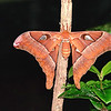 Atlas Moth - the biggest moth in the world