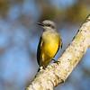 Tropical Kingbird - Feb 2009, Costa Rica